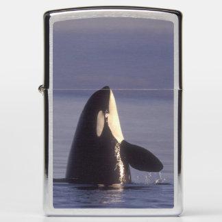 Spyhopping Orca Killer Whale (Orca orcinus) near Zippo Lighter