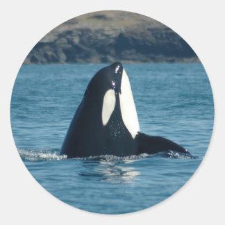 Spyhopping Orca Sticker
