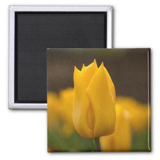 Square Magnet: Yellow Tulip 2 Inch Square Magnet
