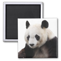 Square of the giant panda it is, magnet, 5.1×5.1cm magnet