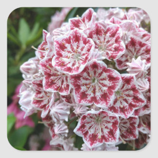Square sticker with pink and white mountain laurel