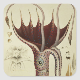 Squid, Pl.2 from 'Histoire Naturelle Stickers