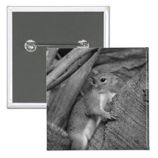 squirrel climbing ficus tree bw buttons