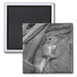 squirrel climbing ficus tree bw magnets