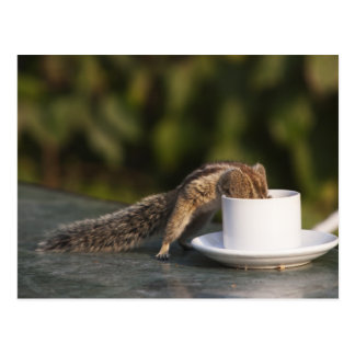 Squirrel drinking from coffee cup at Indian Postcard