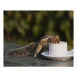 Squirrel drinking from coffee cup at Indian Poster