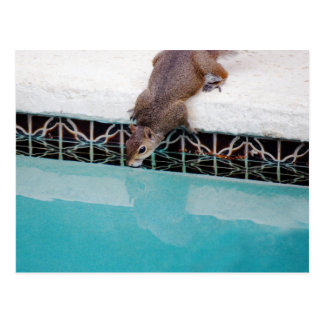 Squirrel Drinking Out Of The Pool... Postcard