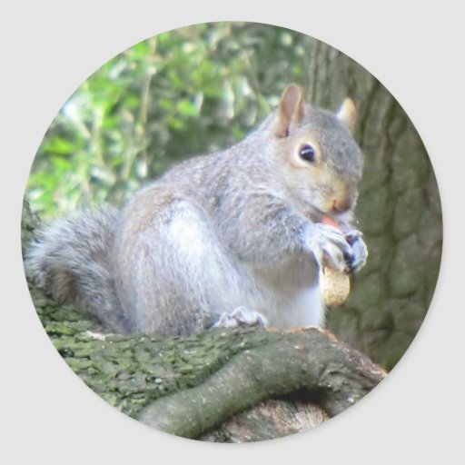 Squirrel eating a monkey nut classic round sticker