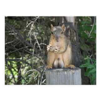 Squirrel eating a peanut photo Print