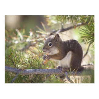 Squirrel eating a pine cone 2 postcard
