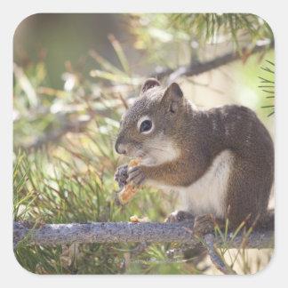 Squirrel eating a pine cone 2 square sticker