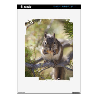 Squirrel eating a pine cone skins for iPad 3