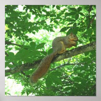Squirrel Eating Buckeye in Tree Poster