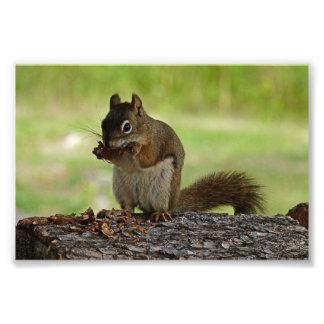 Squirrel eating Cone Photo Art