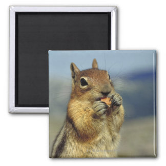 Squirrel eating magnet