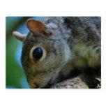 Squirrel Face Postcards