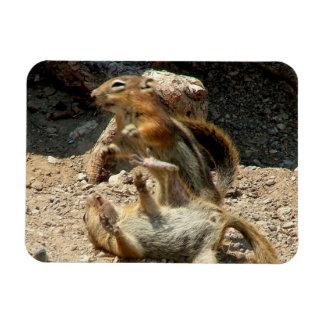 Squirrel fight magnet