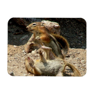 Squirrel fight rectangular photo magnet