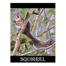 Squirrel Grey (Kentucky and North Carolina) Postcard