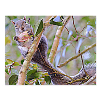 Squirrel Grey (Kentucky and North Carolina) Postcard