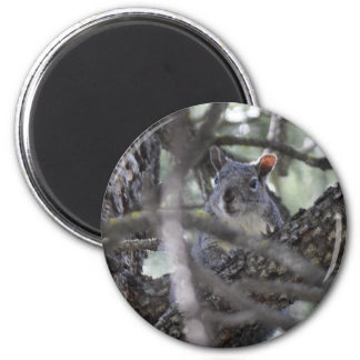 Squirrel in a Pine Tree Refrigerator Magnets