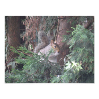 Squirrel in a Spruce Tree Photo Print