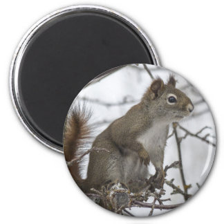 Squirrel in a tree refrigerator magnet