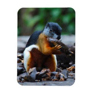 Squirrel in Borneo Jungle Magnet