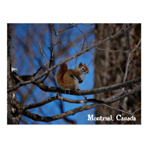 Squirrel in Montreal Post Card