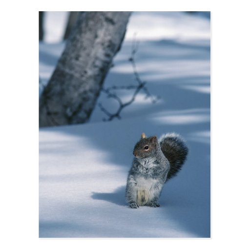 Squirrel in the Snow Post Cards
