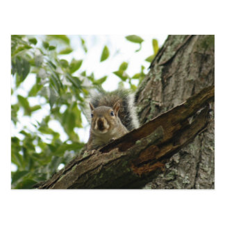 Squirrel In The Tree Postcard