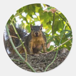 Squirrel in tree classic round sticker