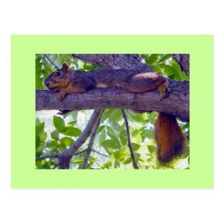 Squirrel laying on a tree branch photo postcard
