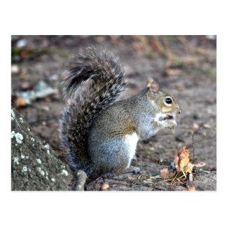 Squirrel Munching on an Acorn Postcard