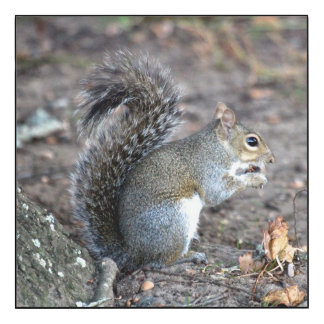 Squirrel Munching on an Acorn Wood Wall Art
