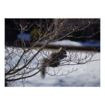 Squirrel on a  cold cherry blossom tree posters
