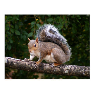 Squirrel On Limb Postcard