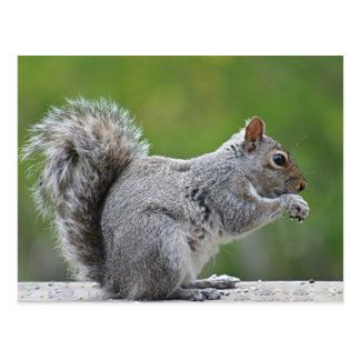 Squirrel photo postcard