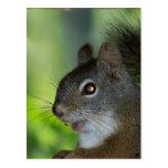Squirrel Post Card