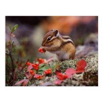 Squirrel Postcard
