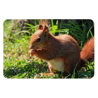 Squirrel red cute photo portrait  magnet