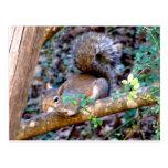 Squirrel Resting Postcard