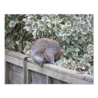 Squirrel Washing its Fur Photo Print
