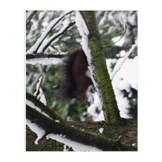 Squirrel Winter Photography  Acrylic Wall Art