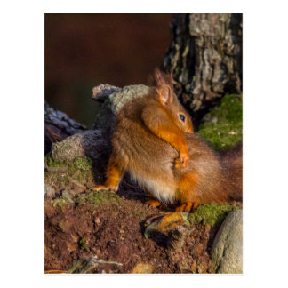 Squirrel With An Itch Postcard