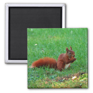 Squirrel with walnut magnet