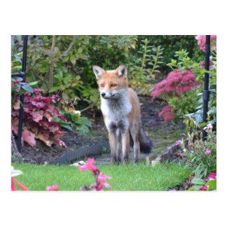 Sr. Fox Tarjetas Postales