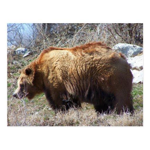 Sr. oso postal