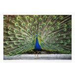Sr. Peacock Invitation Invitación