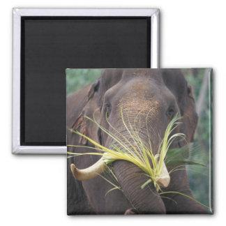 Sri Lanka, alimentaciones del elefante en el elefa Imán Cuadrado